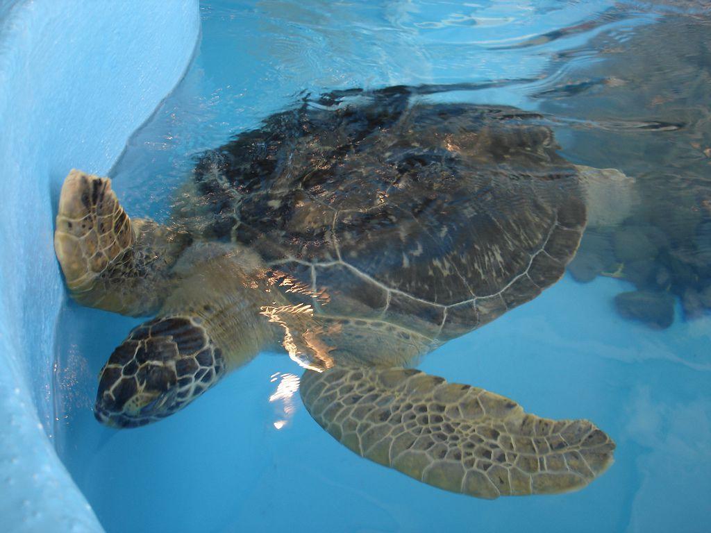 turtle at Mote Marine Aquarium
