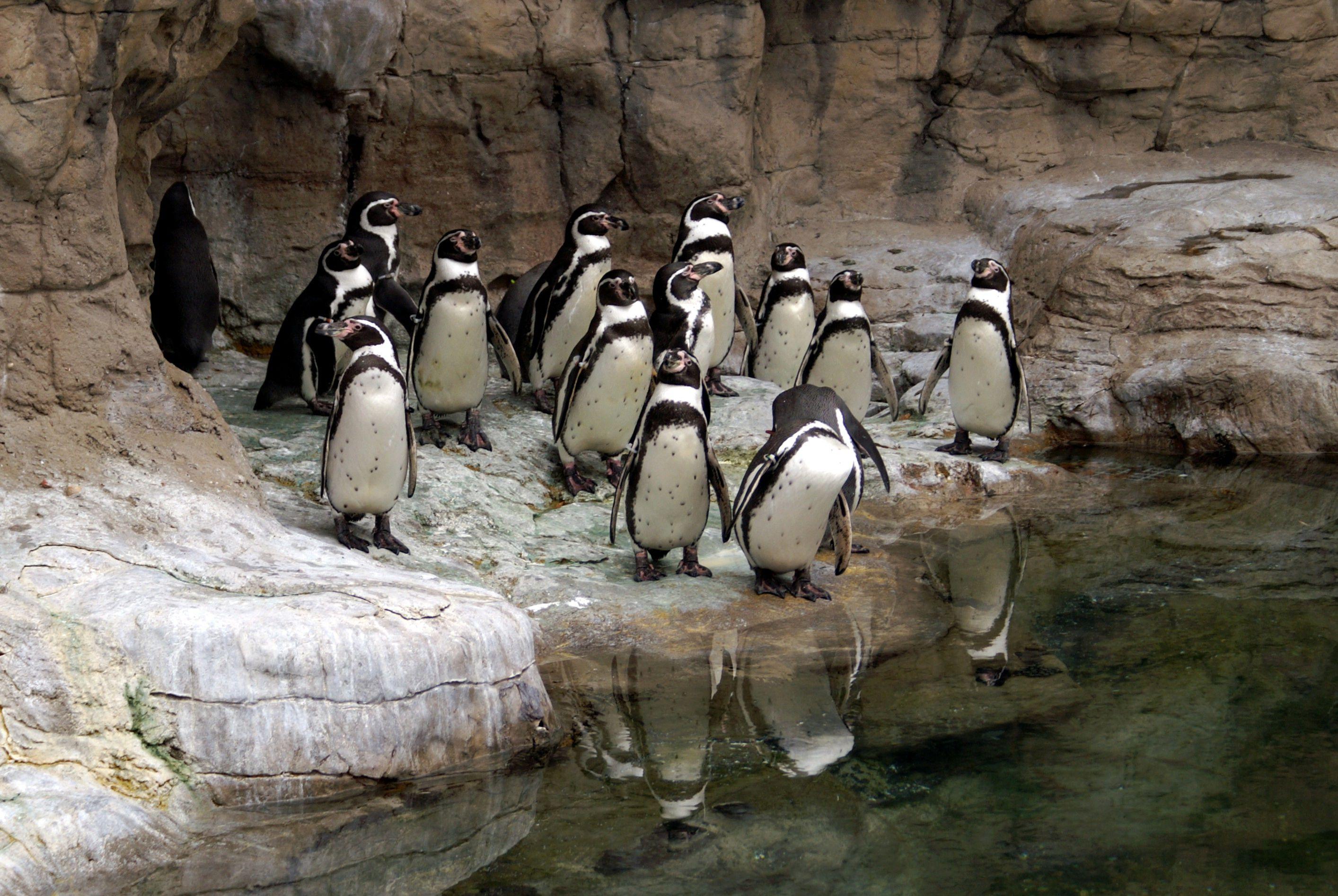Grupo de pingüinos en el zoológico de St. Louis