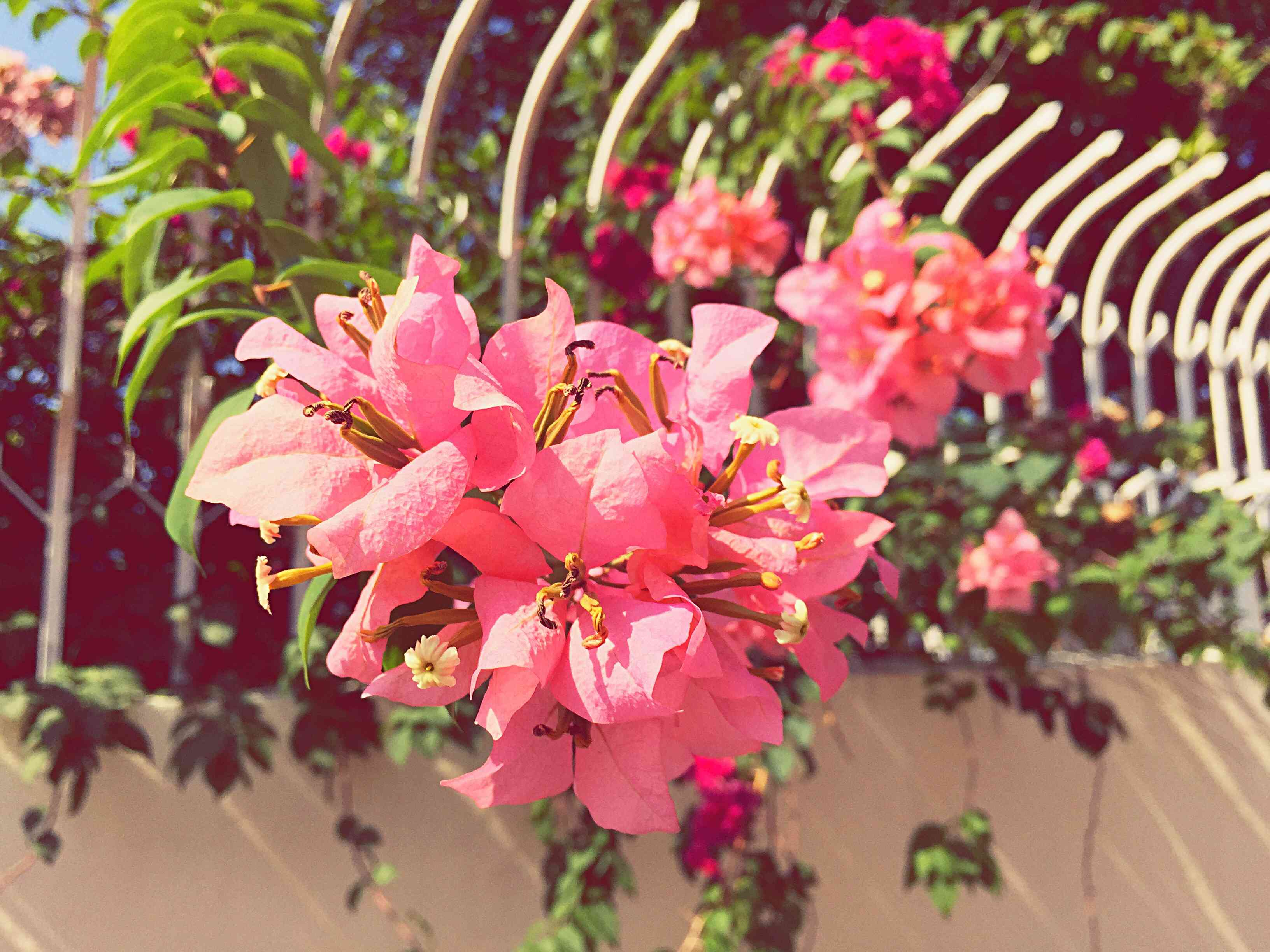 Close-Up Of Bougainvillea Blooming in Georgetown