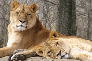 African lions at the Pittsburgh Zoo