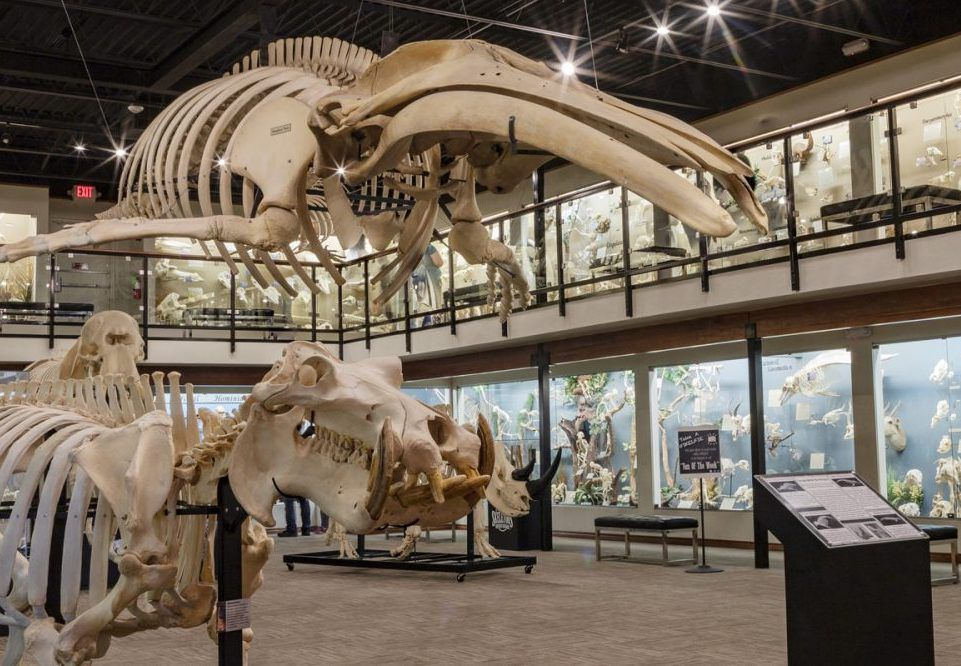 display room of large animal skeletons including a whale skeleton on the cieling