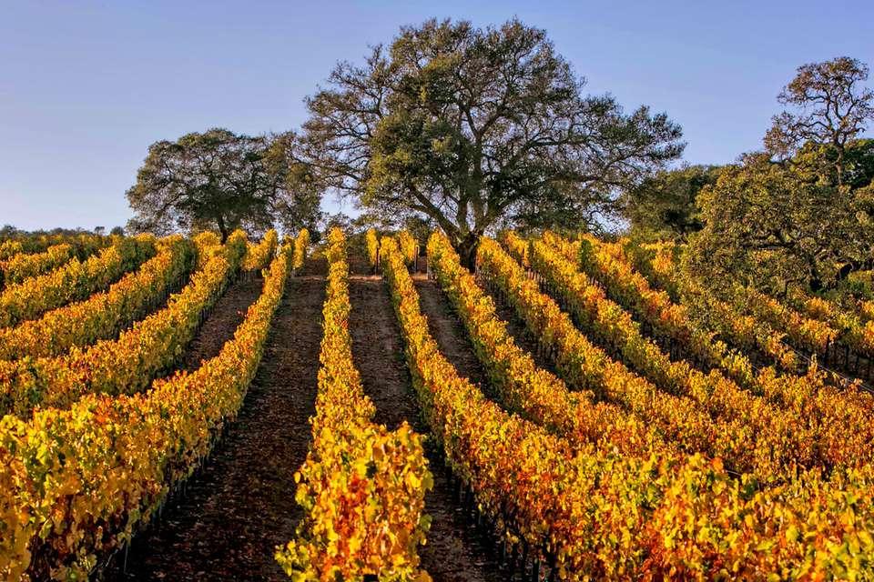 California vineyard in the Fall
