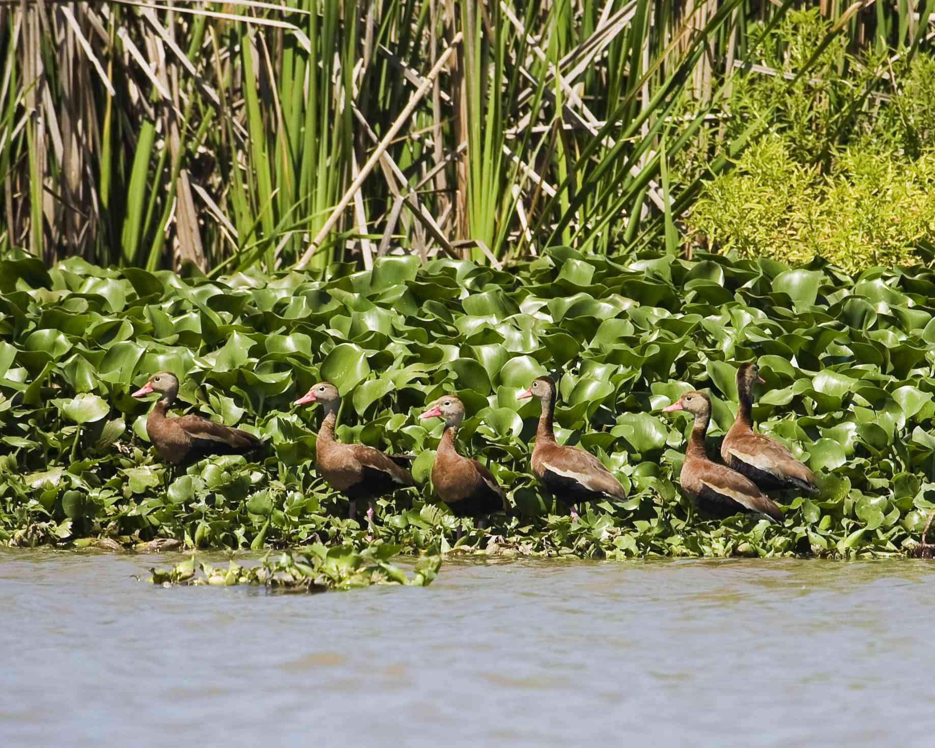 Black-bellied Whistling Duck near San Blas.