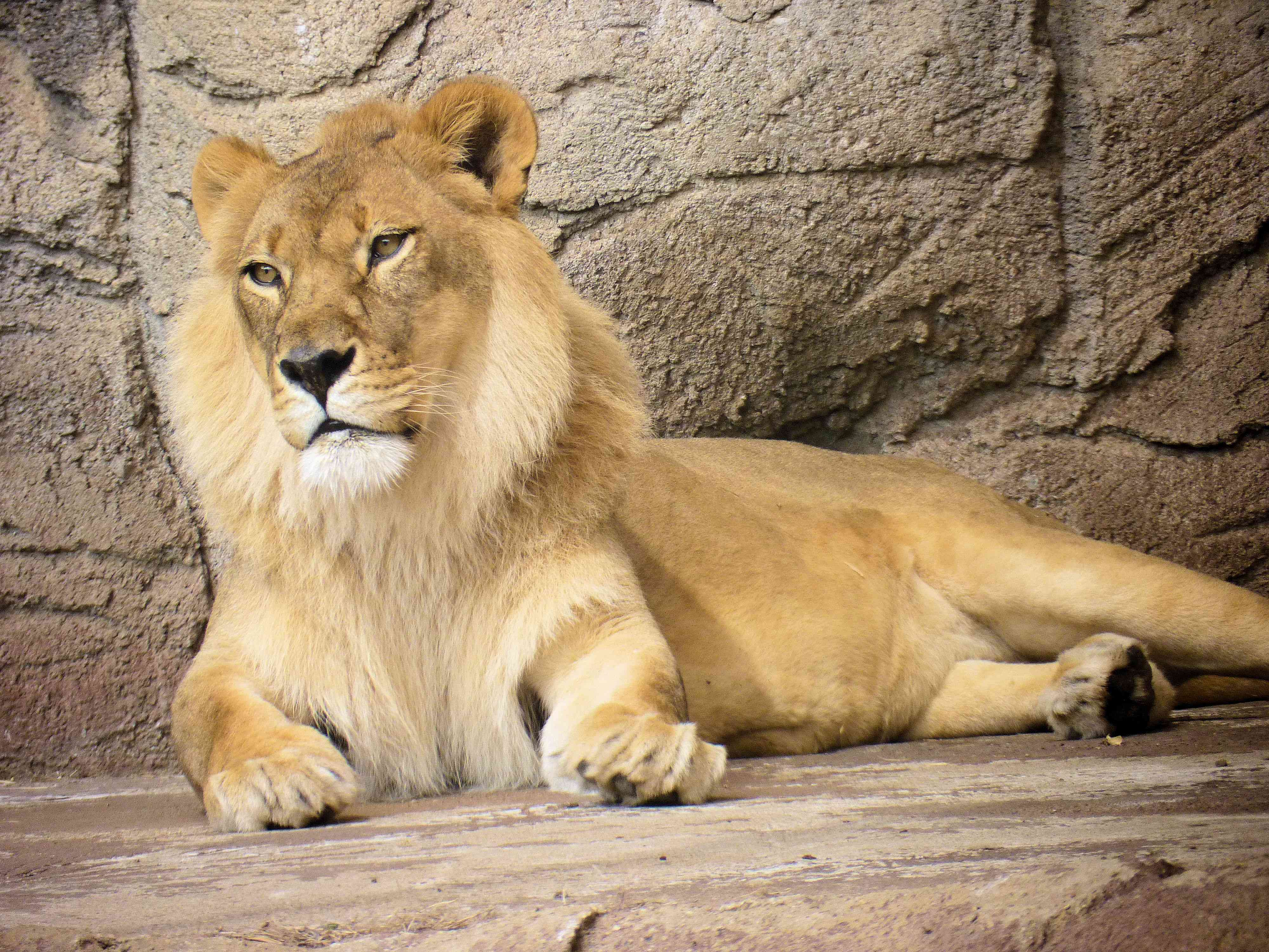 Male lion resting at Cameron Park Zoo in 2011