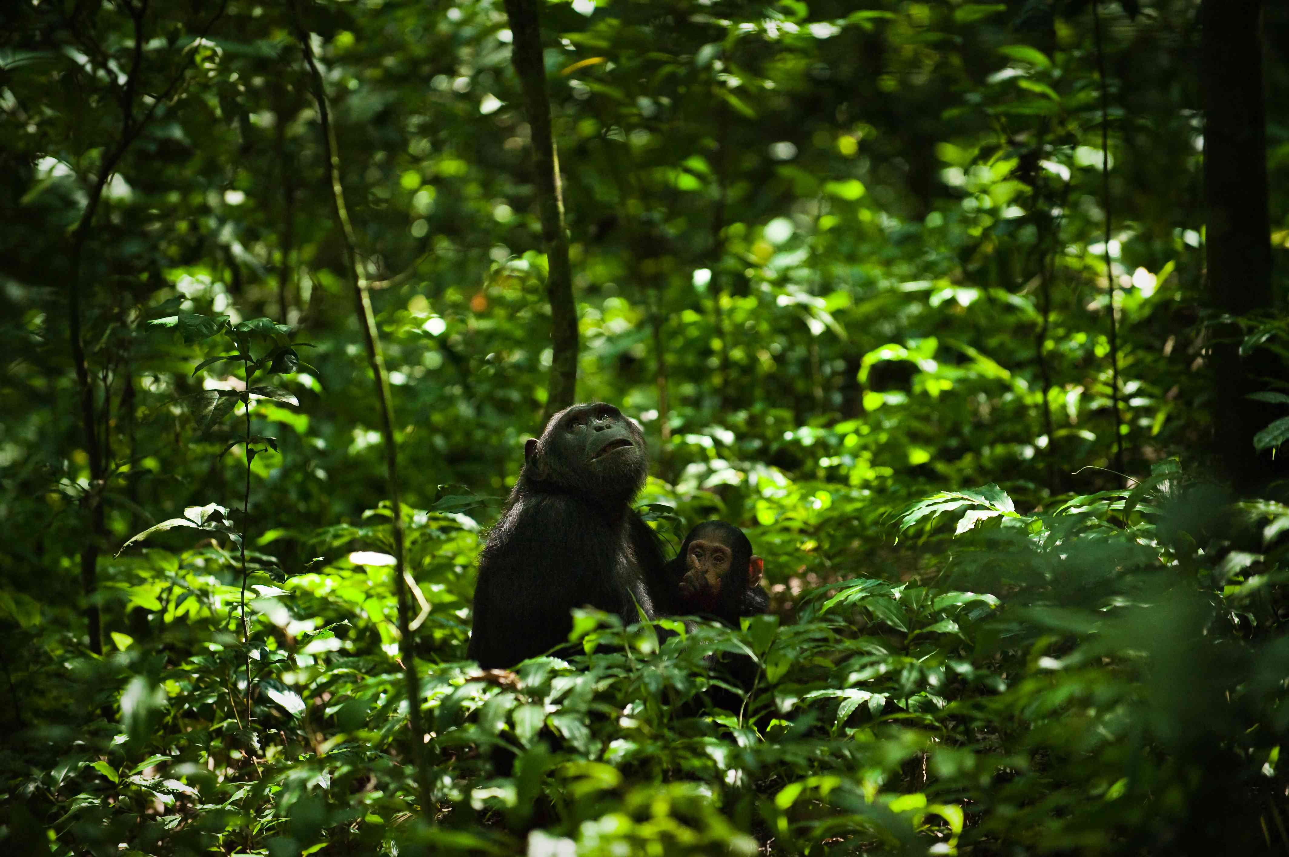 Pair of common chimpanzees (Pan troglodytes), Kibale Forest National Park, Uganda