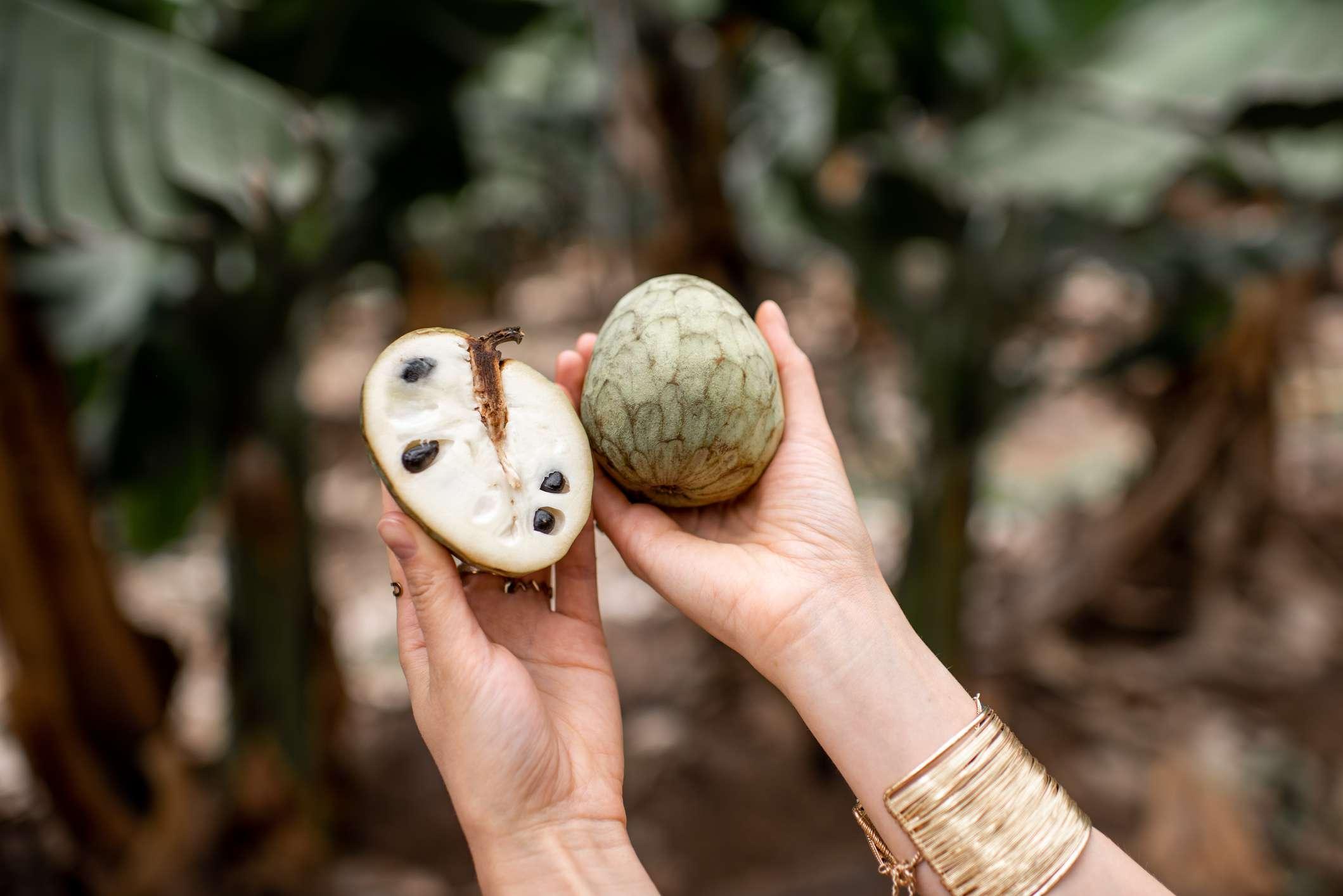 Holding Annona Cherimoya exotic fruit