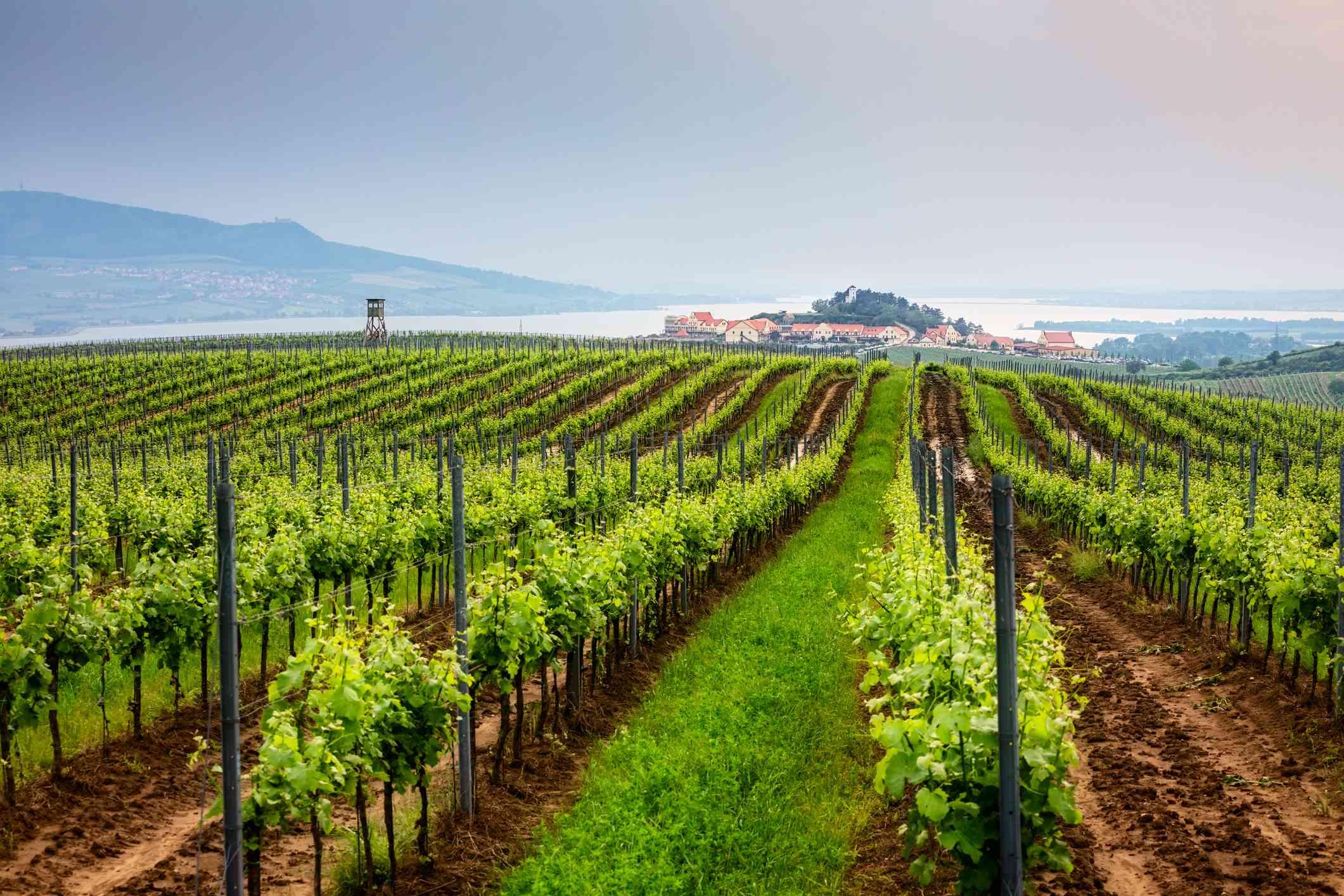 Vineyard in Moravia, Czech republic