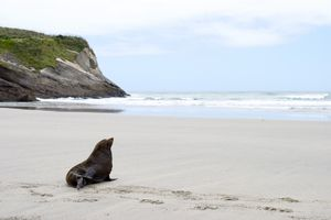 fur seal sitting on sand with sea and cliff in background