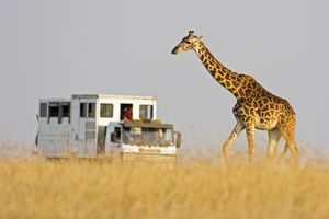 Giraffe and safari truck