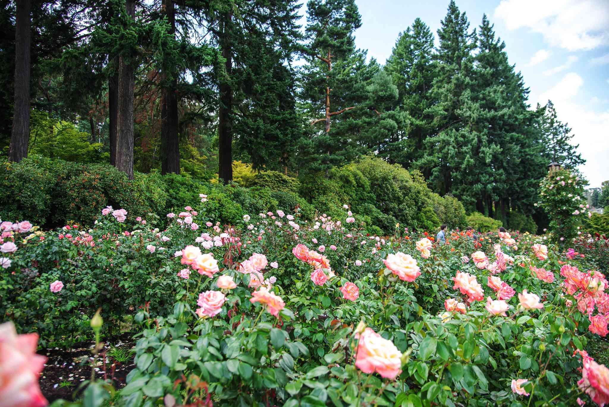 Un gran jardín de rosas rodeado de altos pinos verdes