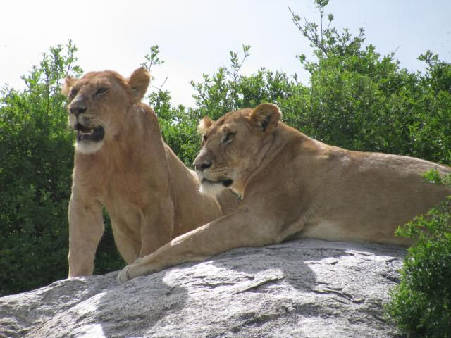 Lions on a Kopje in the Serengeti