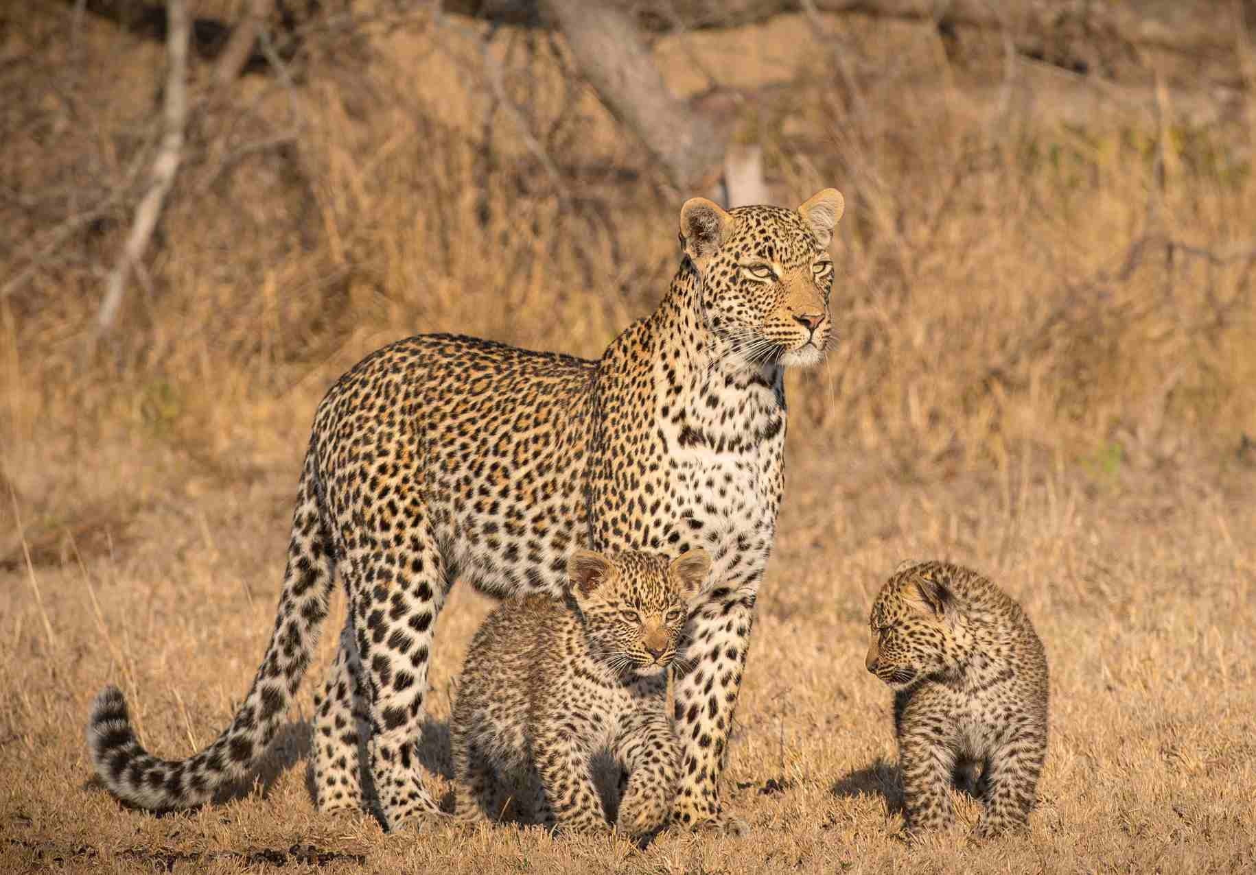Leopard and cubs, Londolozi Game Reserve
