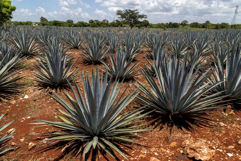 Agave plantation. Growing mezcal.