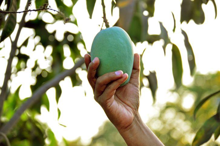 Mango picking.