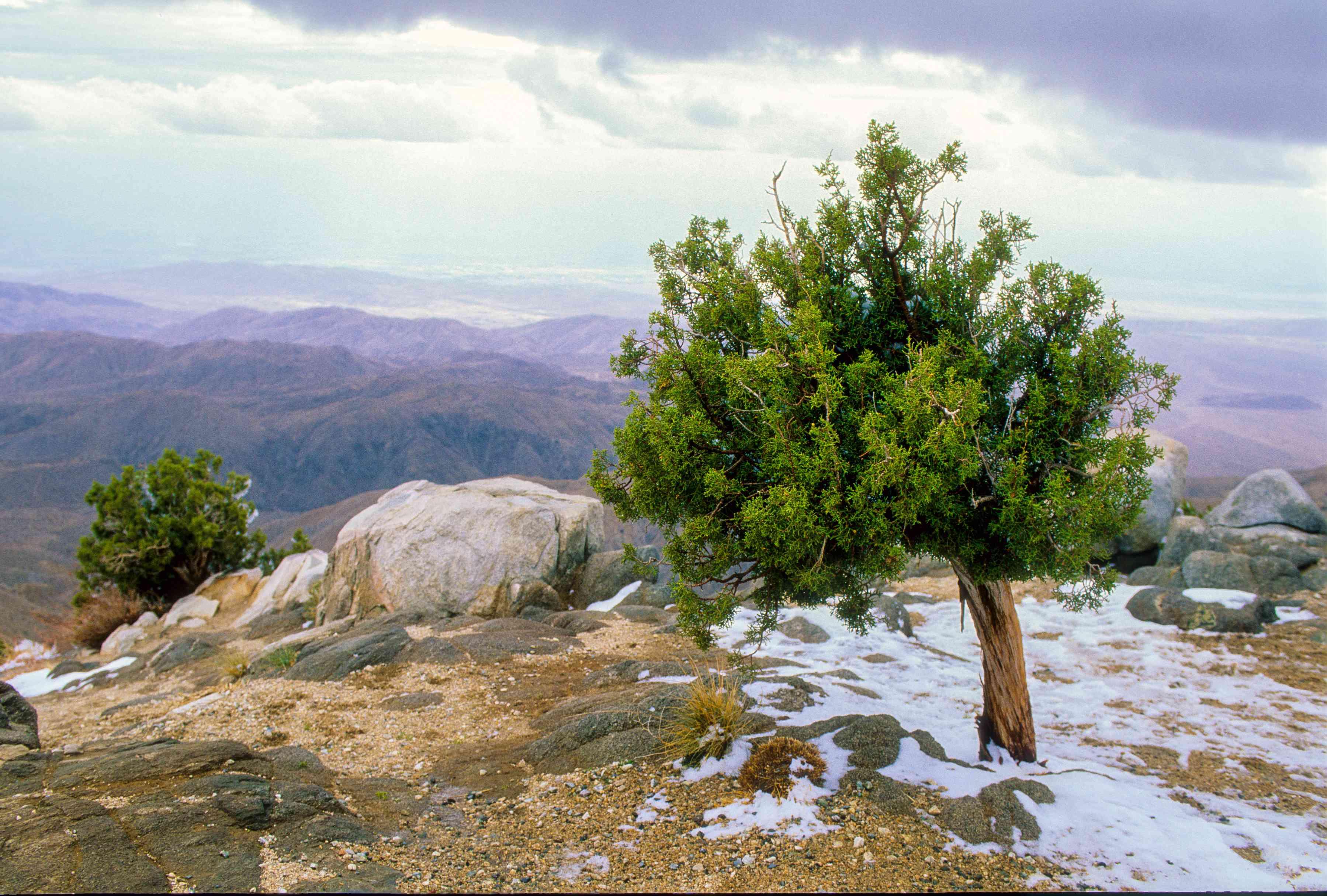Juniper atop a mountain in JTNP