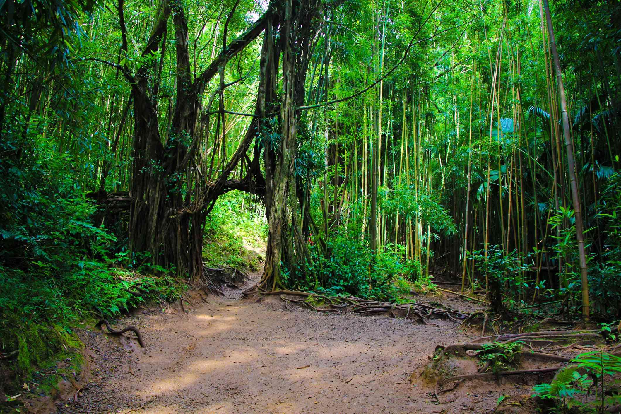 Tree tunnel on Manoa Falls Trail on Oahu
