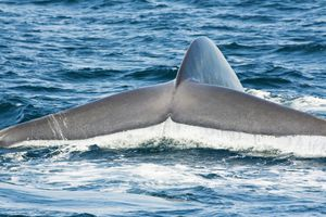 California, The tail fluke of a blue whale, (Balaenoptera musculus). Blue whales are the largest creature to ever live on our planet.