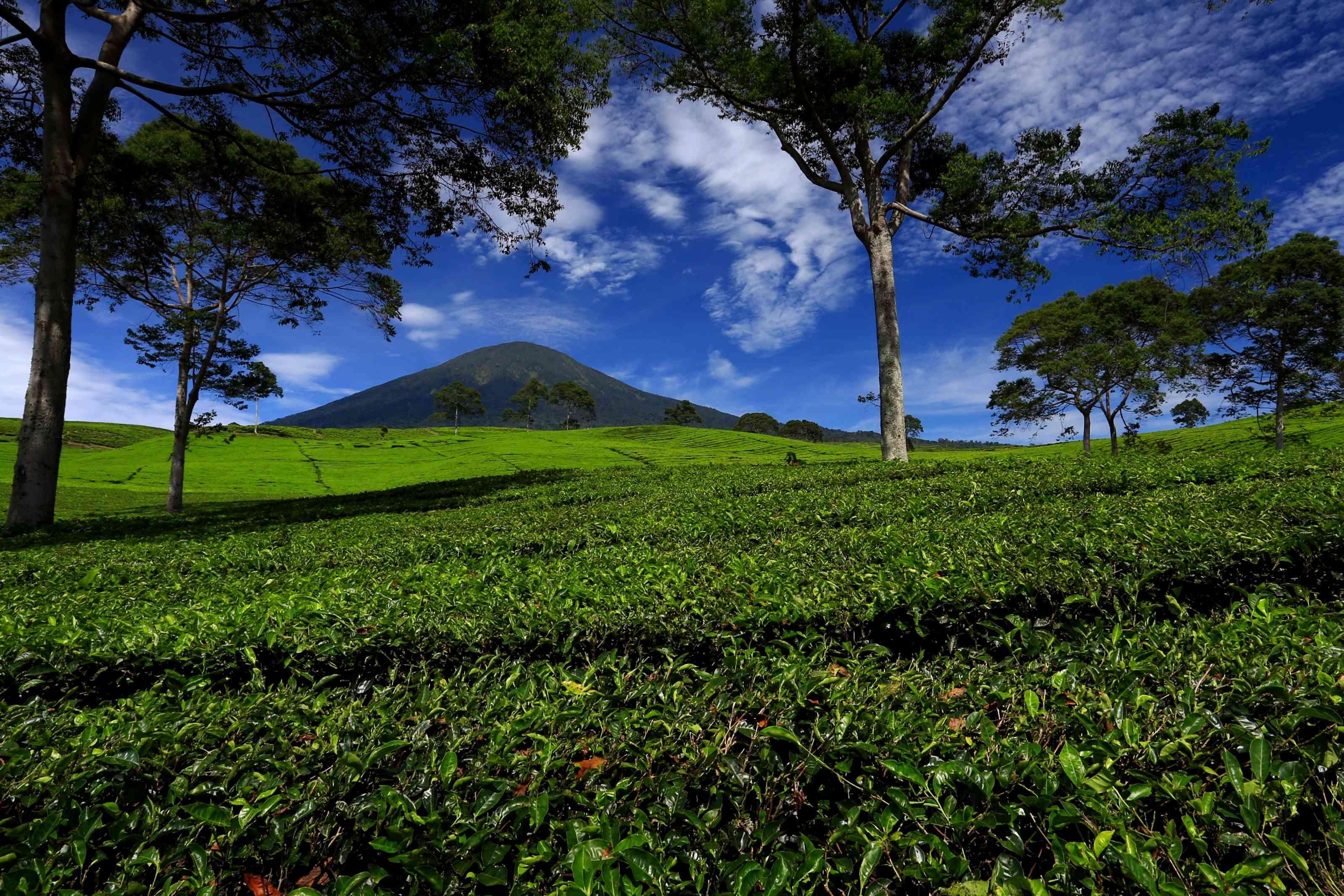 Gunung Dempo in the distance behind a tea plantation
