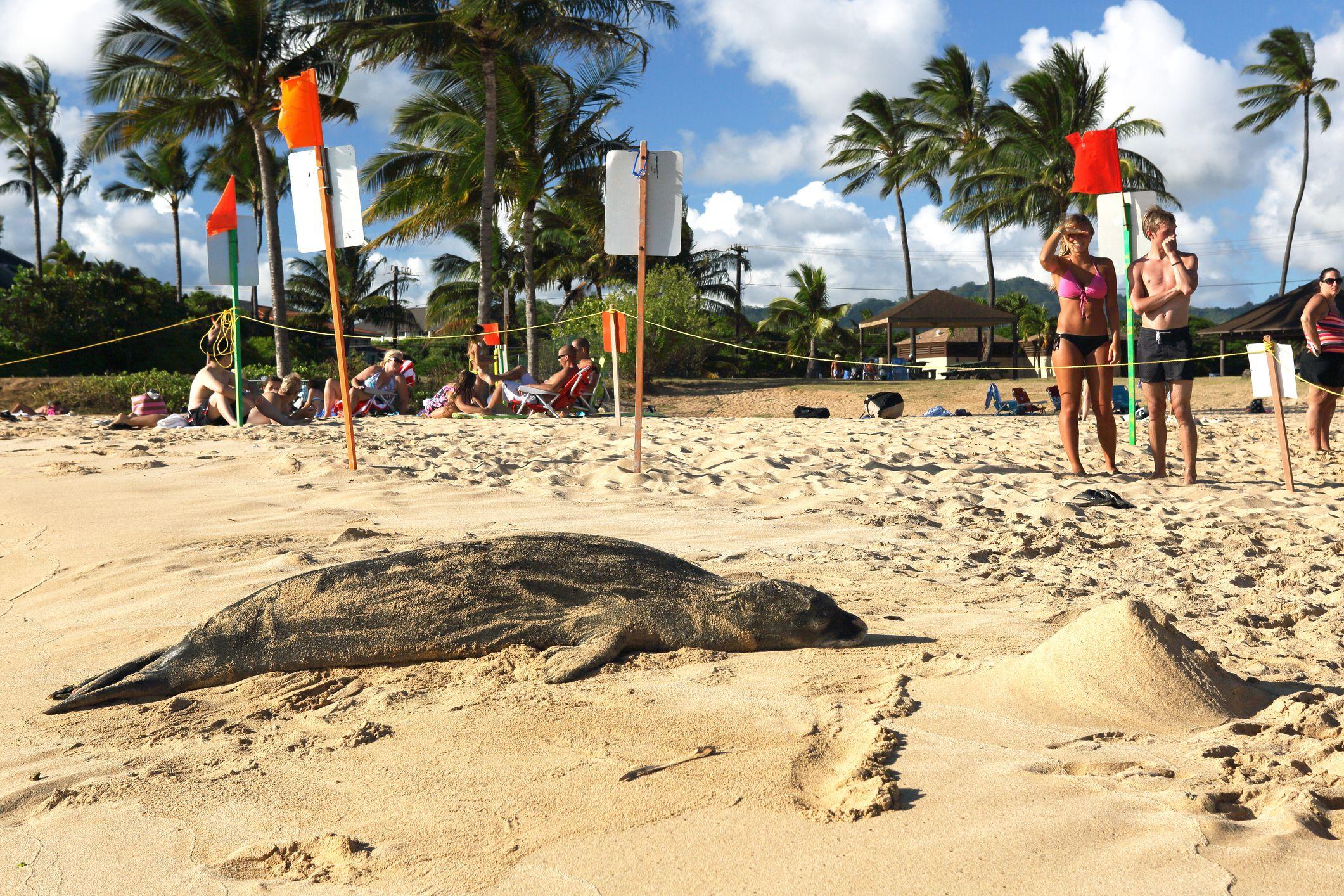 A Hawaiian monk seal basks on Po'ipu Beach Park