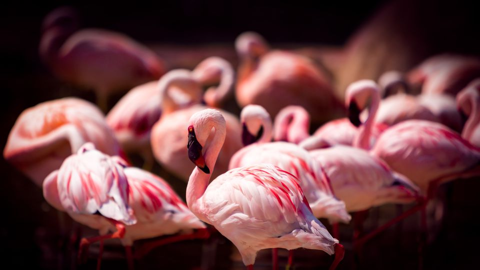 Flamingos In Memphis Tennessee
