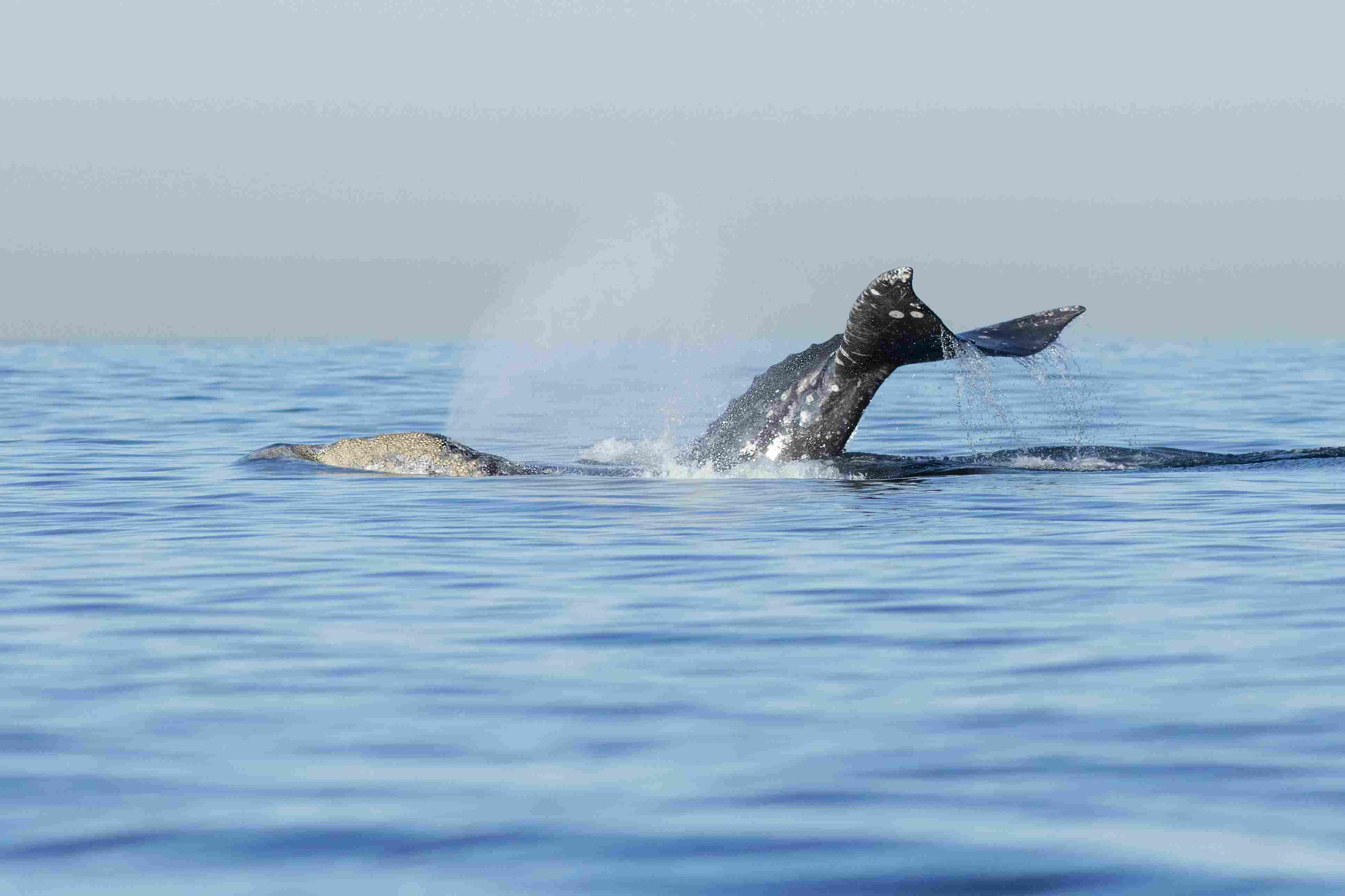 Grey whale (Eschrichtius robustus) diving, La Jolla, California, USA