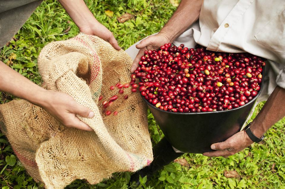 A sColombian farmer pouring freshly-picked coffee beans into a burlap sack.
