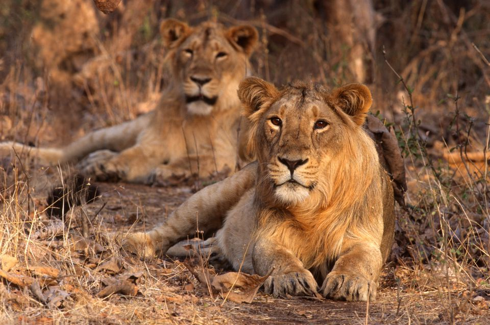Lions at Gir National Park