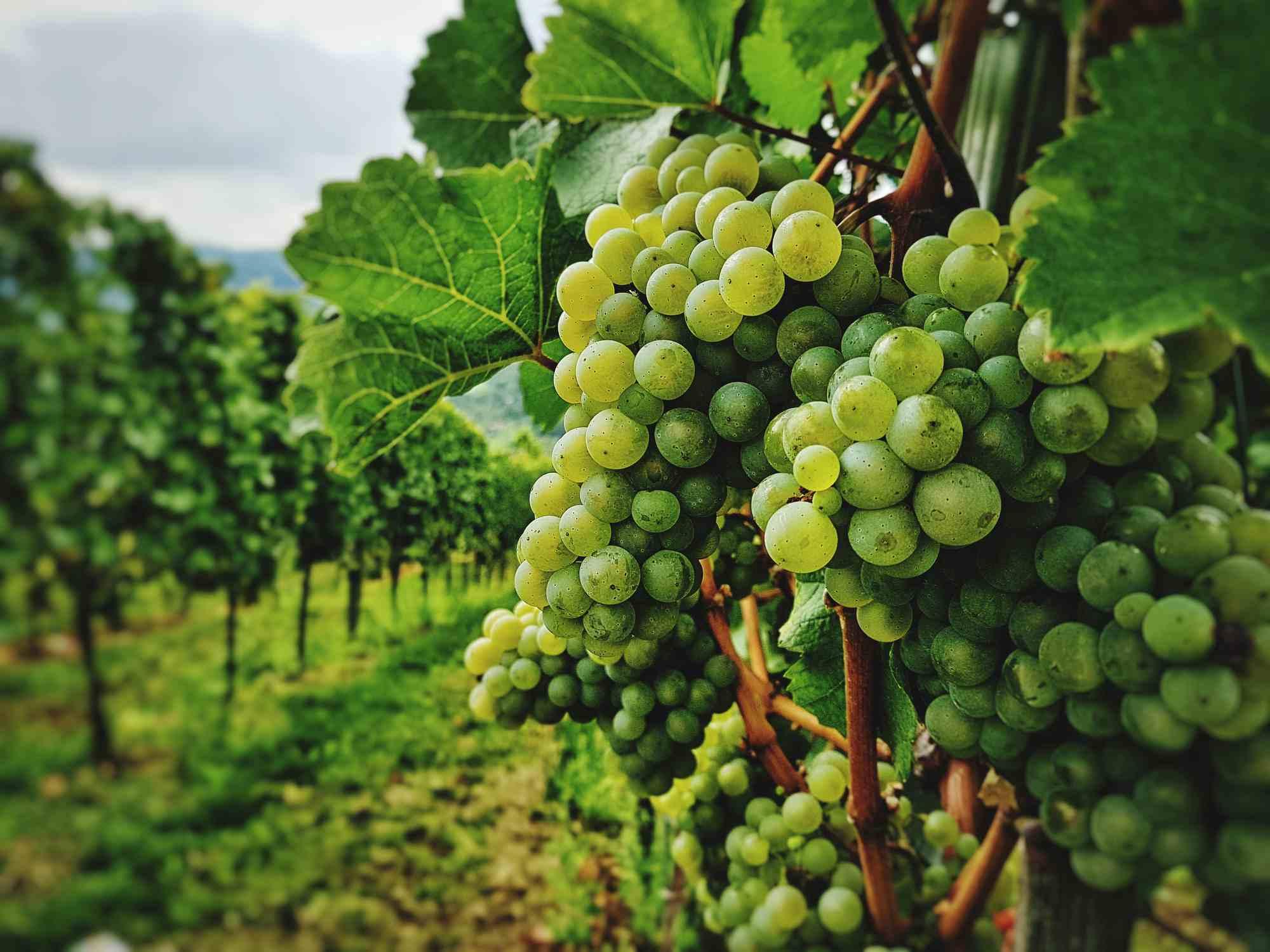 Uvas en una viña en viñedo