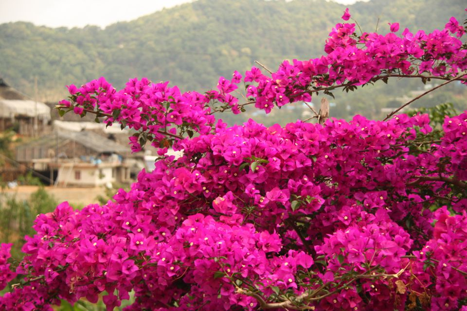 Bougainvillea climbing up a hillside village in Xishuangbanna.