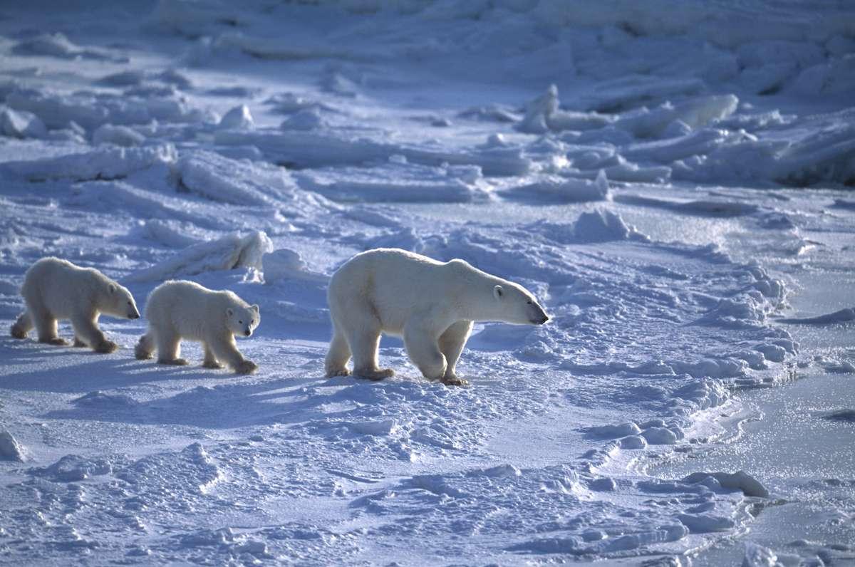 Three polar bears walk in a line across the snow and ice