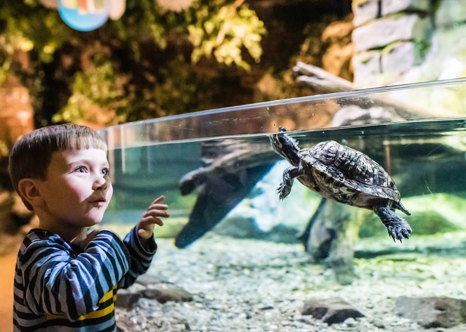 Child looking at a turtle at the Greater Cleveland Aquarium in Cleveland