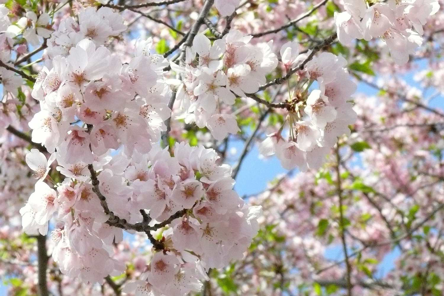 Everything To Know About The Washington Dc Cherry Trees