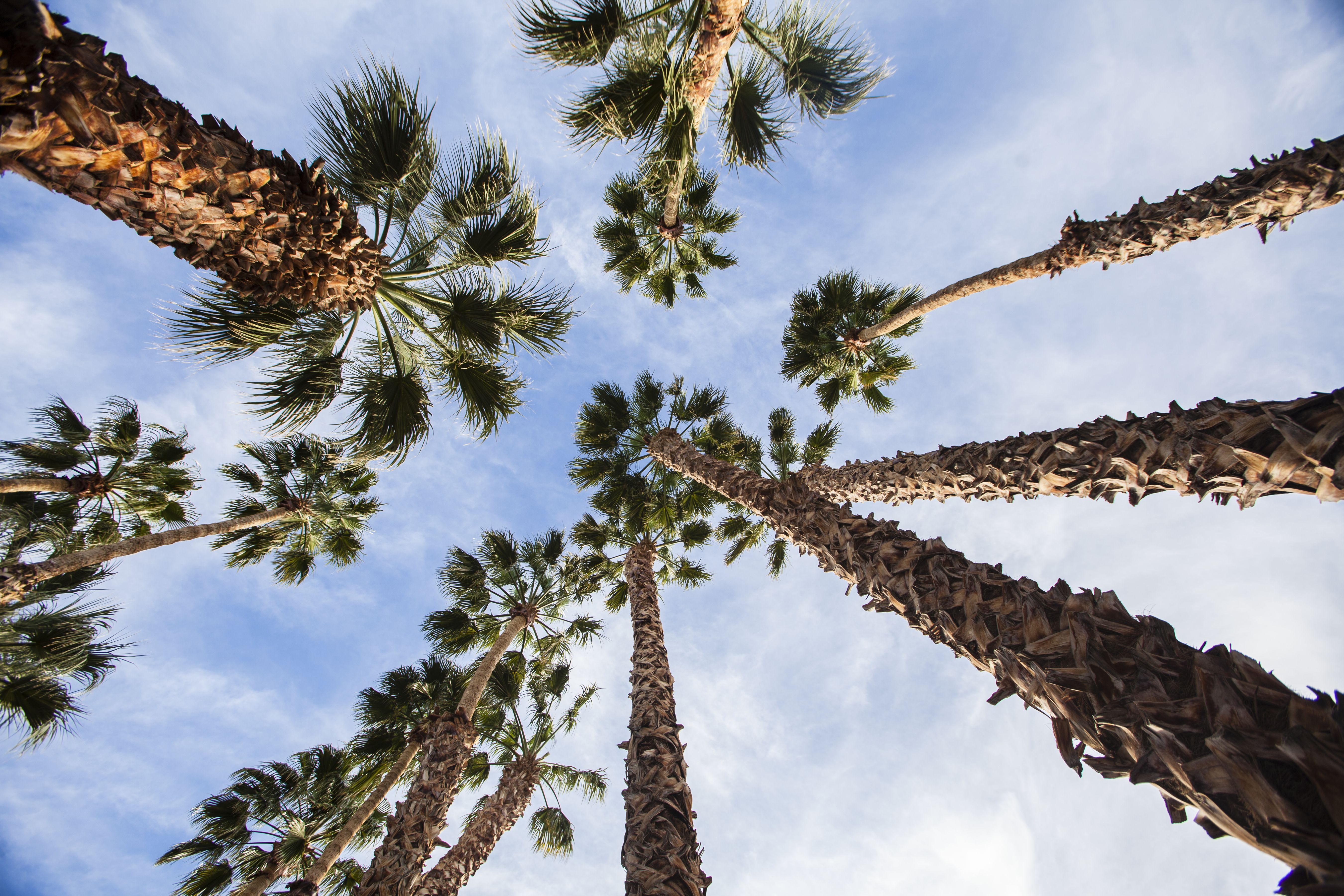 Palmeras en Palm Springs