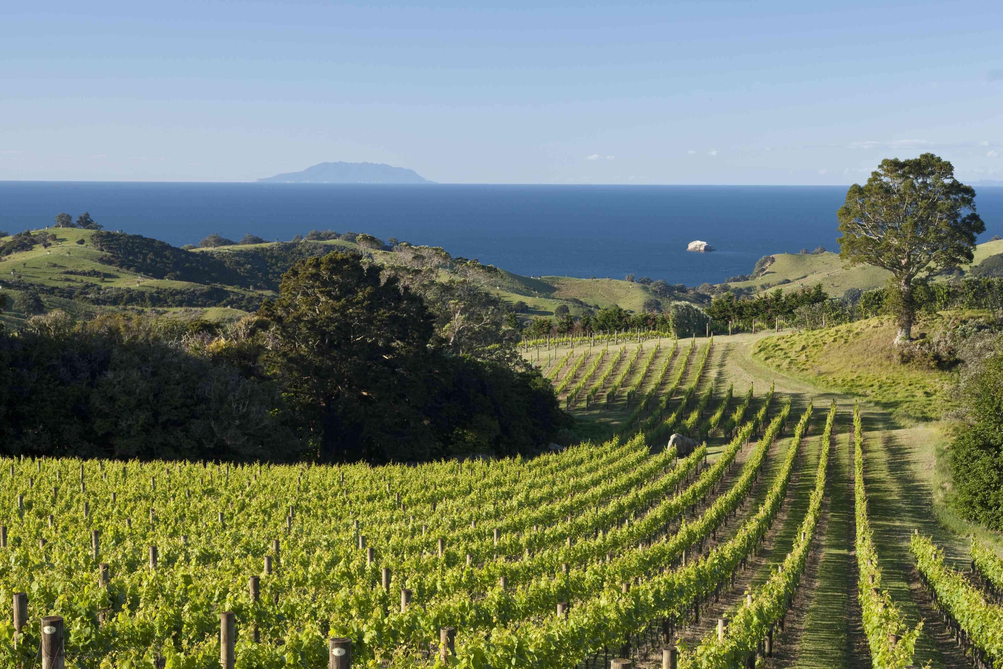 Vines from Man O War Road, Waiheke Island