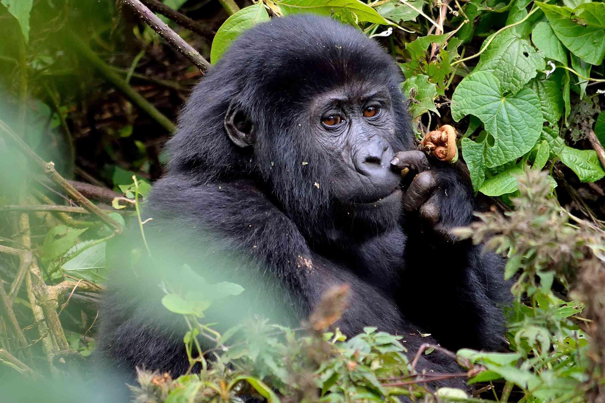 Young gorilla in Bwindi Impenetrable Forest, Uganda