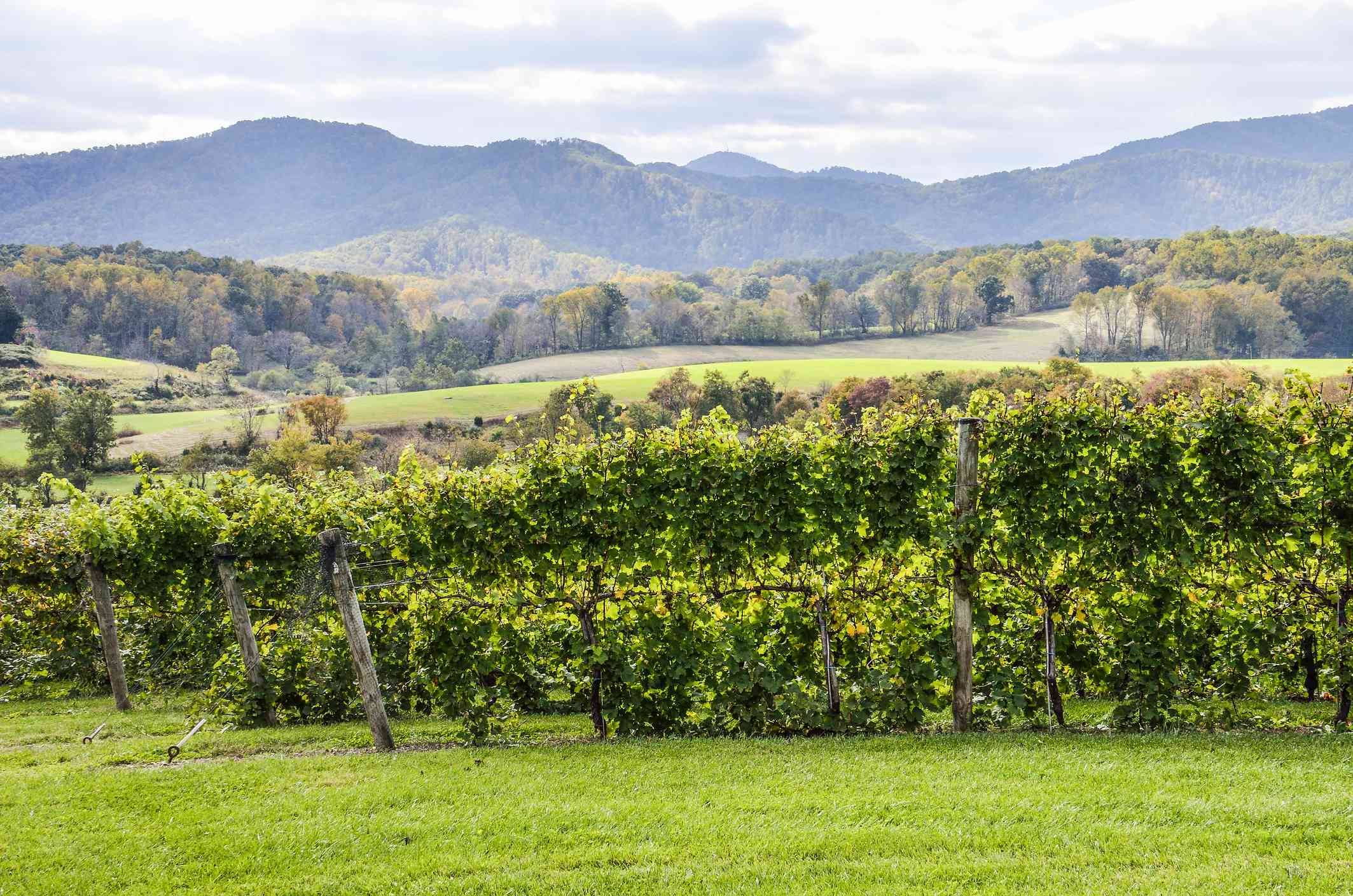 Vineyard hills in Virginia during Autumn with yellow trees
