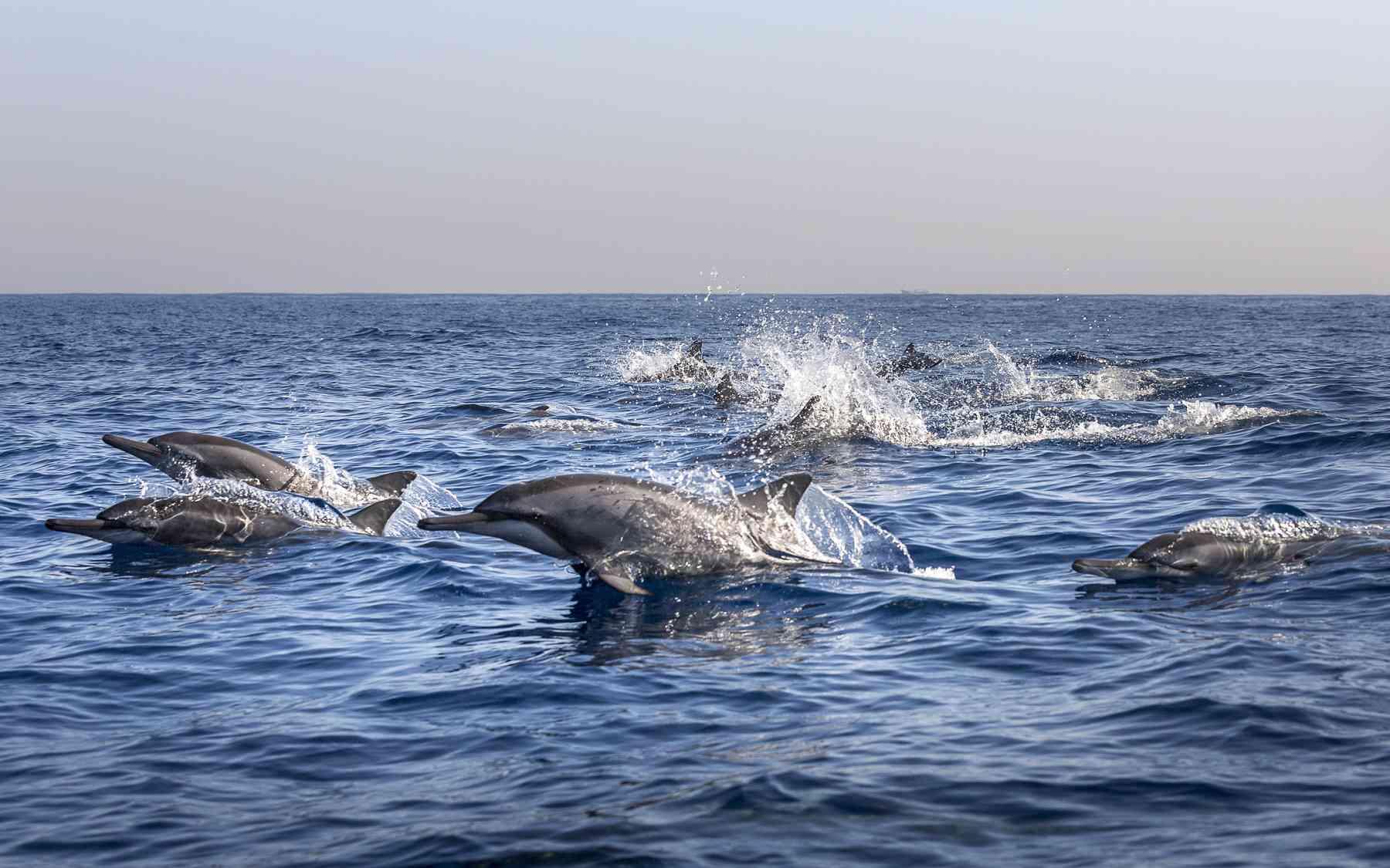 Dolphins off Lovina Beach, Bali.