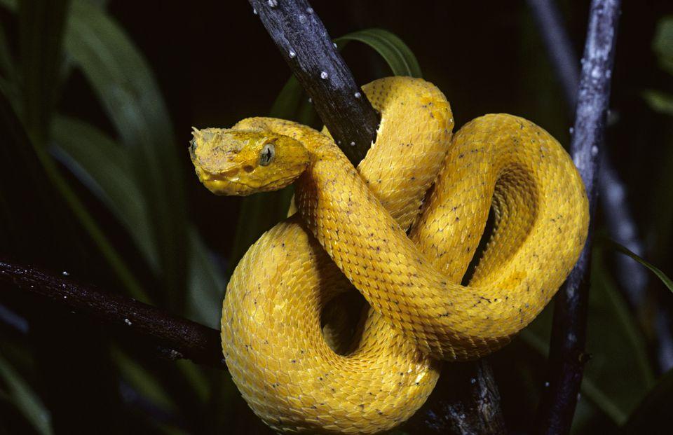 Eyelash Viper Bothriechis schlegelii, in Costa Rica