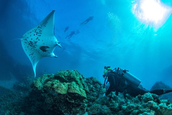 Scuba diver and ray in Bora Bora