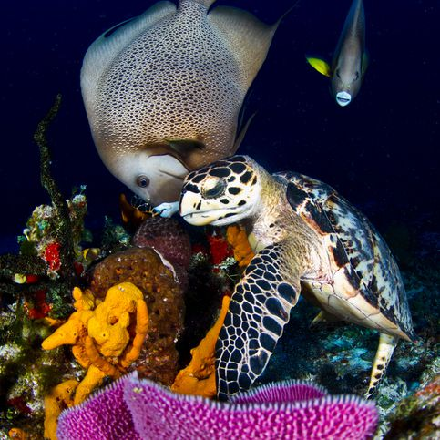 Turtle and Gray Angelfish
