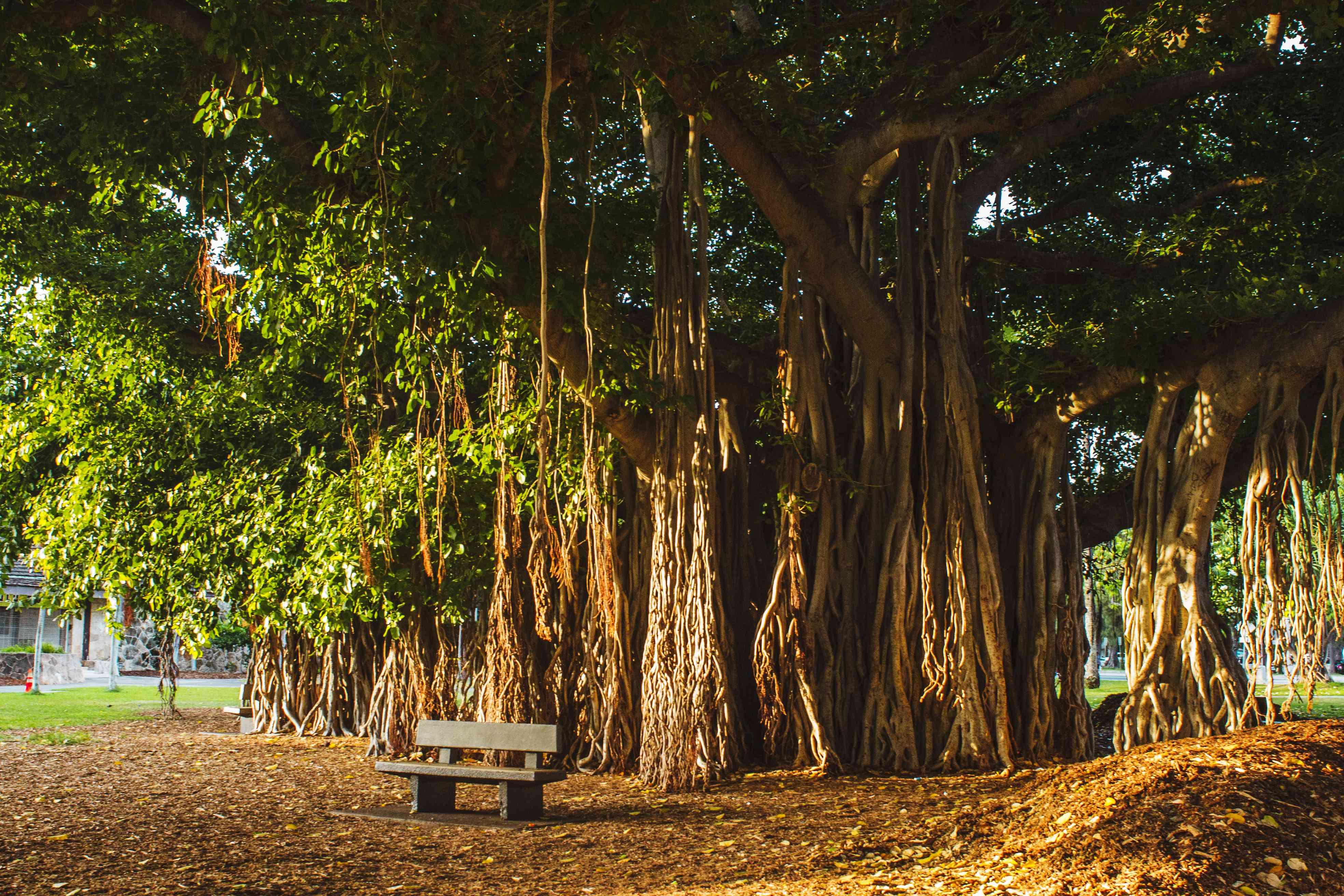 Banyan Tree in Oahu