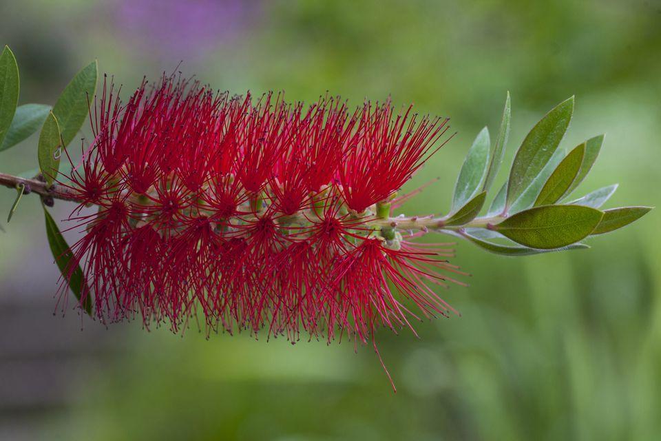 Red Bottle Brush, Callistemon Citrinus, Kula Botanical Garden, Upcountry, Maui, Hawaii, USA