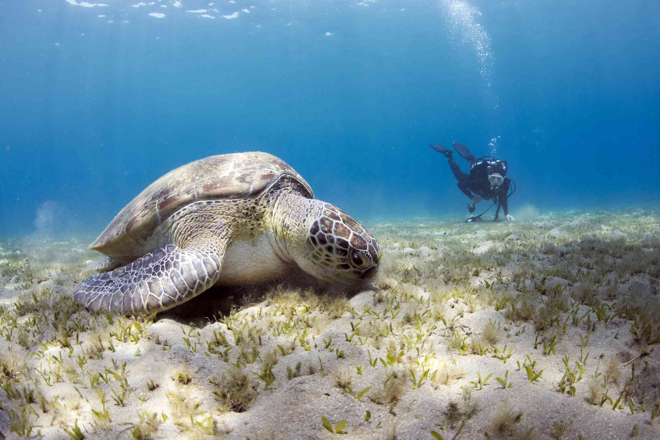 Shooting of Green sea turtle while it's feeding