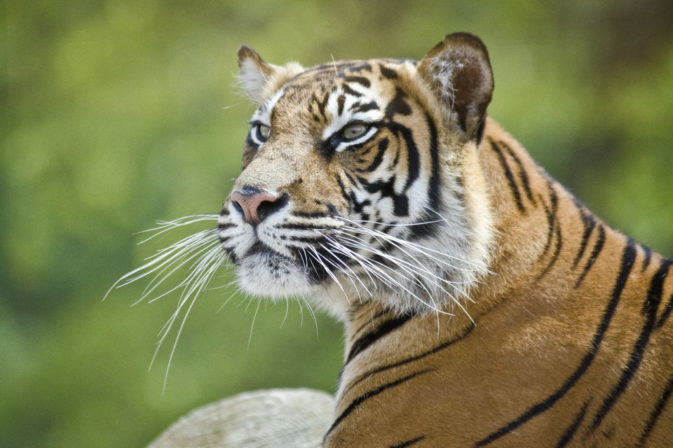 Tiger at ZSL London Zoo