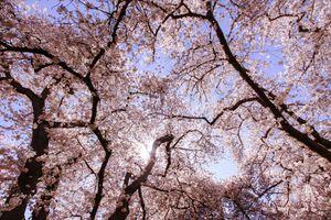 Cherry blossoms on University of Washington's campus