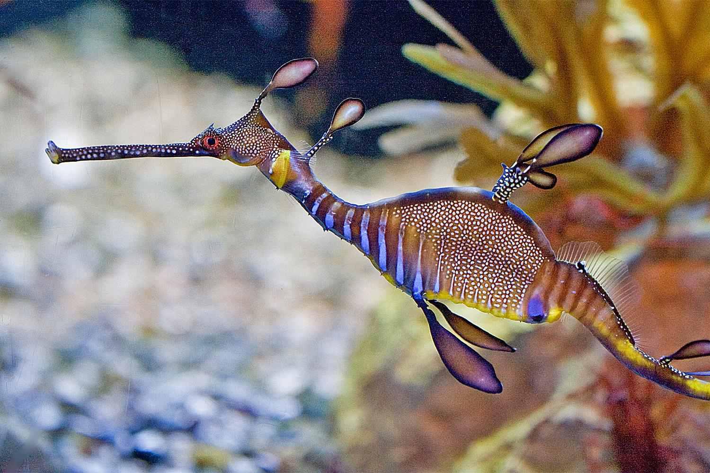 Leafy Sea Dragon at the Birch Aquarium