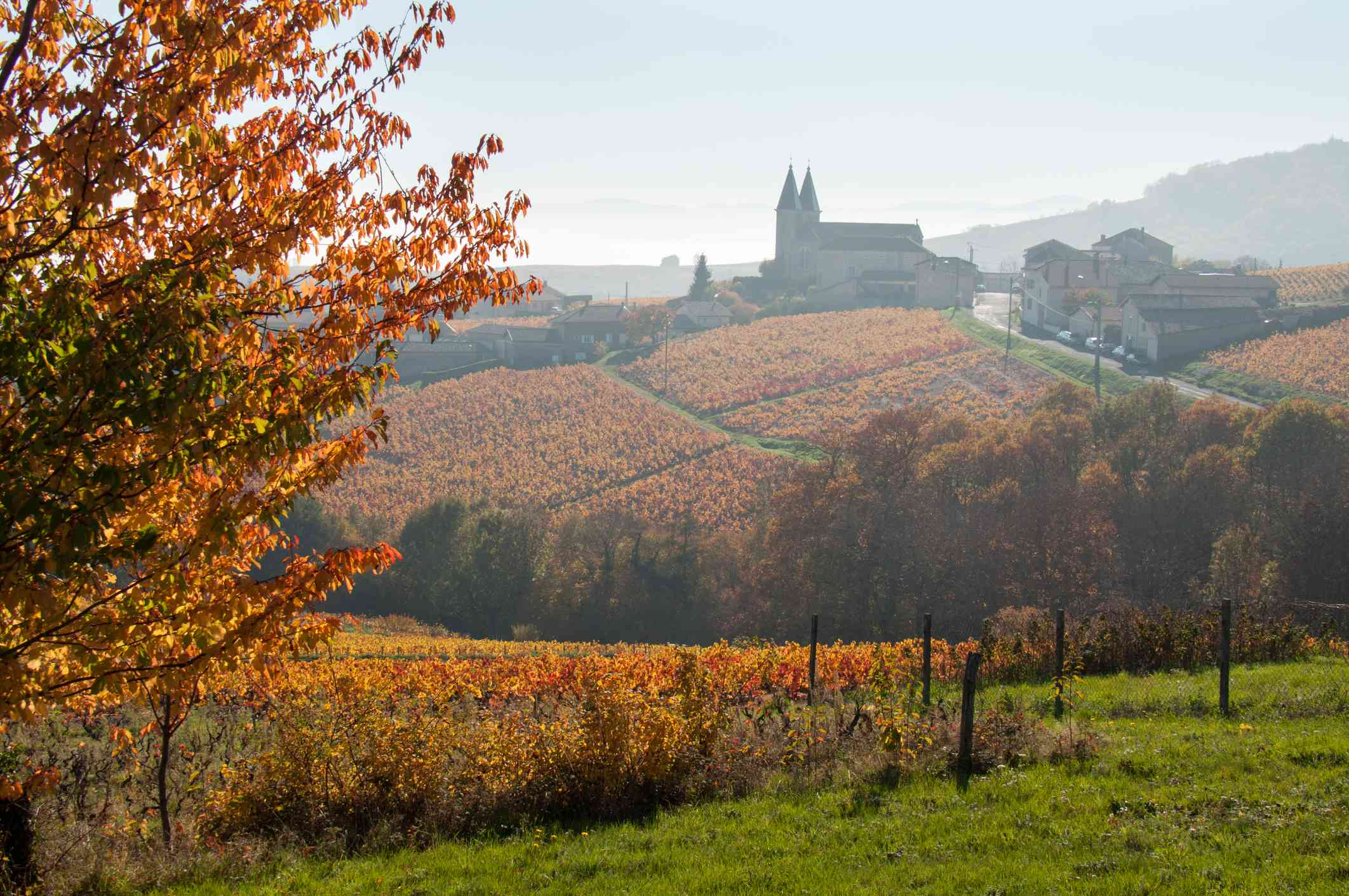 red Vineyards in the mist in Beaujolais region of France