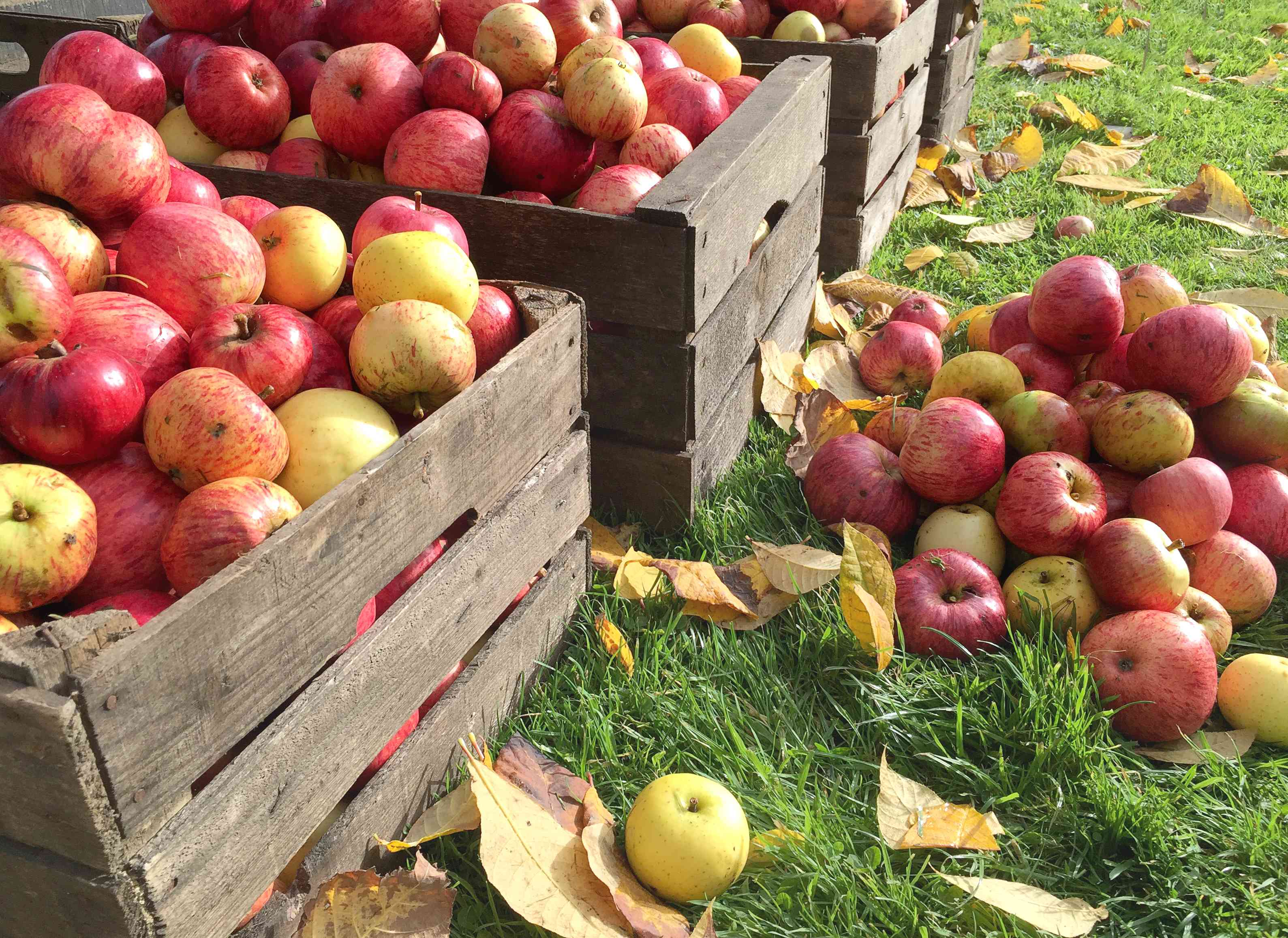 crates of fresh apples at an orchard