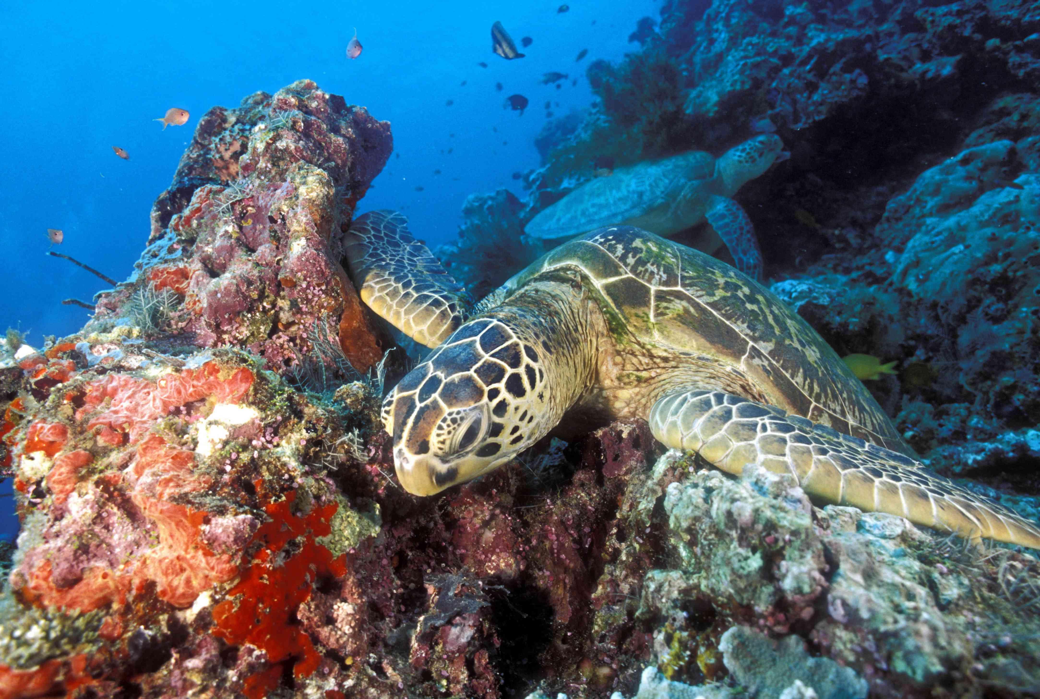 A sea turtle on the reef at Sipadan Island, Borneo