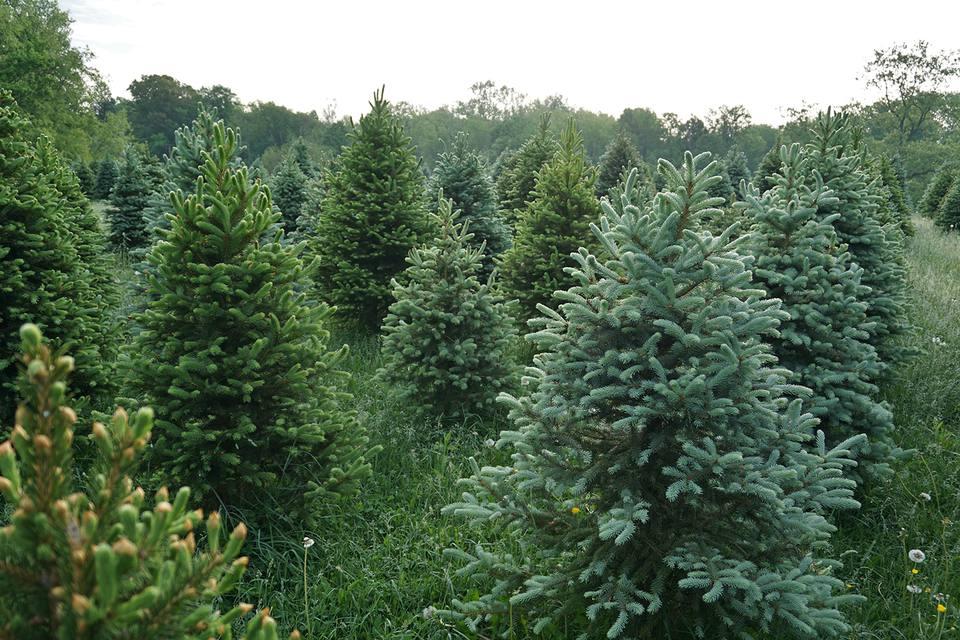 Christmas Forest.Christmas Tree Farms Near Washington D C